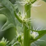 La ingesta moderada de espinacas ayuda a reducir la tensión arterial