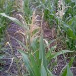 Resultado de la pulverización con glifosato en cobertura total de un cultivo de maíz RR (Roundup Ready), resistente al glifosato. Se observa la supervivencia de las plantas de maíz transgénico junto al control de todas las malezas por parte del herbicida, tanto en la línea de cultivo como entre los surcos.