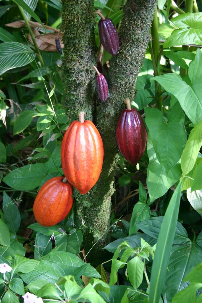 Cacaotero. Foto: Medicaster (licencia CC)