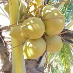 El coco: fruta rica en fibra, calcio y ácido fólico