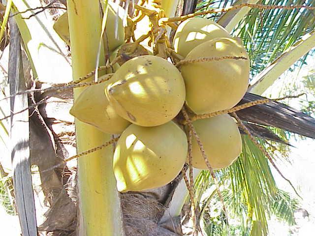 Cocotero. Foto: Kurt Stuber (licencia CC)