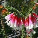 Epacris longiflora. Foto: Toby Hudson (licencia CC).