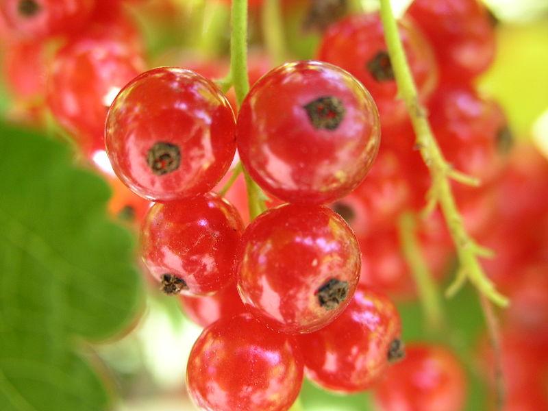 Grosellero-rojo-Ribes_rubrum
