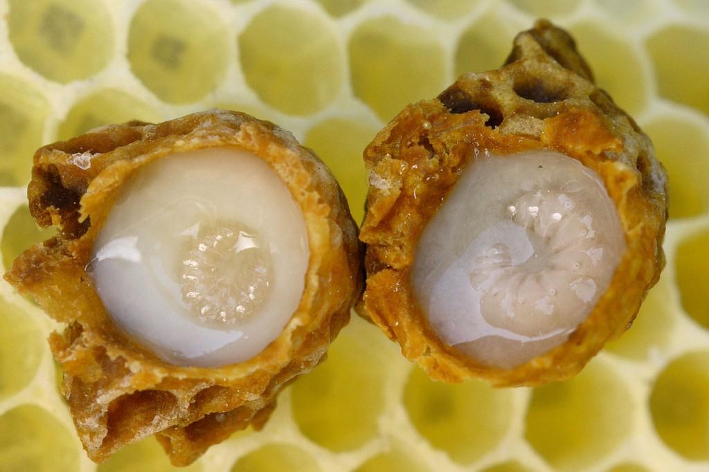 Desarrollo de larvas reales rodeadas de jalea real. Foto: Wausberg (licencia CC)