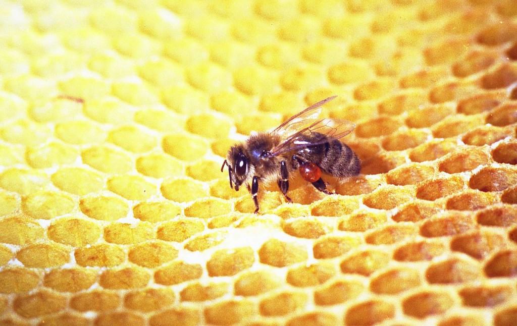 Própolis en la pata de una abeja. Foto: Hadi (liocencia CC)