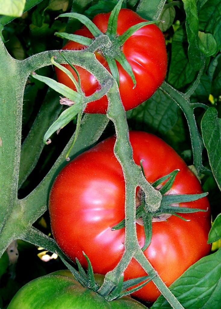Tomates-en-rama