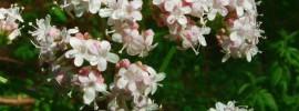Valeriana (Valeriana officinalis). Foto: Jeffdelonge (licencia CC)