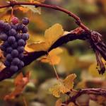 Resveratrol: prometedor en el tratamiento de la enfermedad de Alzheimer