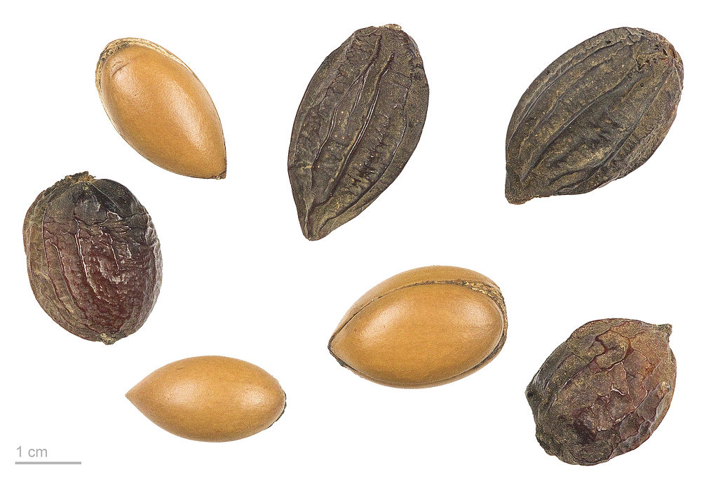 Semilla de Argán (Argania spinosa). Foto: Roger Culos