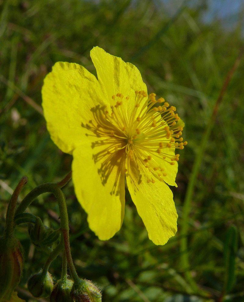 Helianthemum nummularium subsp obscurum. Foto: Bernd Haynold (licencia CC)