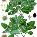 Plantas medicinales para cuidar el hígado