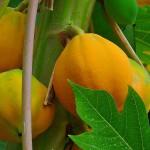 Frutos de papaya maduros. Foto: H. Zell (licencia CC)